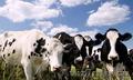 Коровы живым весом